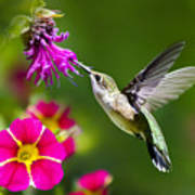 Hummingbird With Flower Poster