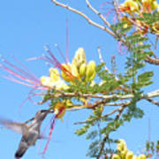 Hummingbird With Honeysuckle Poster