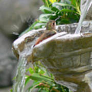 Hummingbirds Do Take Baths Poster