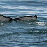 Humpback Tail Fins Poster