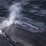 Humpback Whale Blowing Poster
