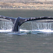 Humpback Whale Fluke Poster