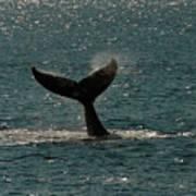 Humpback Whale Lifts Its Fluke. I Poster
