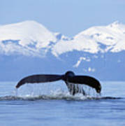 Humpback Whale Megaptera Novaeangliae Poster by Konrad Wothe
