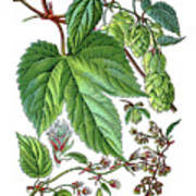 Humulus Lupulus, Common Hop Or Hop Poster