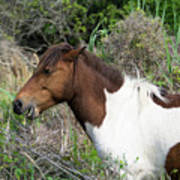 Hungry Horse - Assateague Island - Maryland Poster