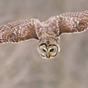 Hunting Barred Owl  Poster