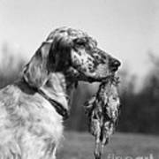 Hunting Dog With Quail, C.1920s Poster