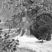 Hunting: Wild Turkey, 1886 Poster