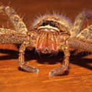 Huntsman Spider Poster by Joerg Lingnau