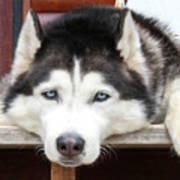Husky Eyes Poster
