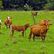 Hybrid Cattle On The Deseret Ranch In East Central Florida Poster
