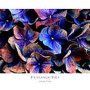 Hydranga Hues Poster