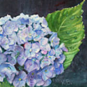 Hydrangea And Water Droplet Poster