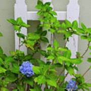 Hydrangea Blooming In October Poster
