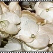Hydrangea Blossom Framed Poster