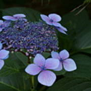 Hydrangea Blue In The Garden Xii Poster