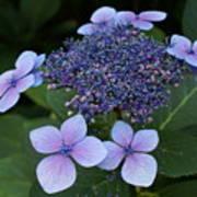 Hydrangea Blue Xi Poster