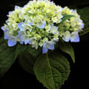 Hydrangea In Bloom Poster