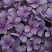 Hydrangea In Lavender 1 Poster