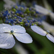 Hydrangea Macrophylla Poster