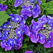 Hydrangea, Macrophylla Teller Poster