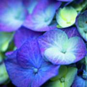 Hydrangea - Purple And Green Poster