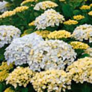 Hydrangeas Blooming Poster