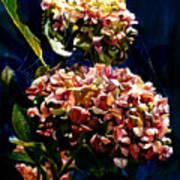 Hydrangeas Poster