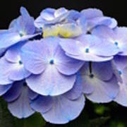 Hydrangeas In Purple Poster