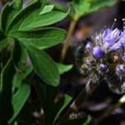 Hydrophyllum Capitatum Poster