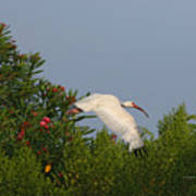 Ibis In The Oleander Poster