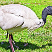 Ibis Looking For Food Poster