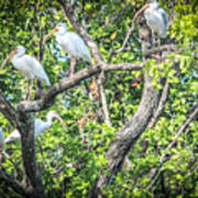 Ibises In A Tree Poster