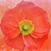 Iceland Poppy 3 Poster