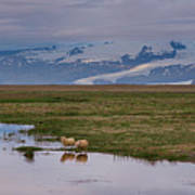 Iceland Sheep Reflections Panorama  Poster