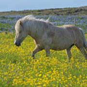 Icelandic Horse, Iceland Poster