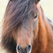 Iclelandic Horse Close Up Poster