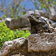 Iguana At Talum Ruins Mexico Poster