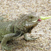 Iguana Eating Lettuce With His Tongue Sticking Out Poster