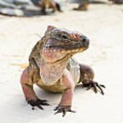 Iguana On The Beach Poster