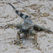 Iguana With A Striped Tail On A Sand Beach Poster