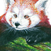 Illlustration Of Red Panda On Branch Drawn With Faber Castell Pi Poster