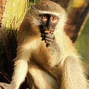 Illuminated Vervet Monkey  Poster
