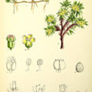 Illustrations Of The Flowering Plants And Ferns Of The Falkland Poster