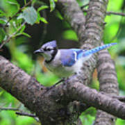 I'm Looking - Blue Jay Poster