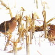 Img_0001 - Mourning Dove Poster