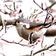 Img_0001 - Tufted Titmouse Poster