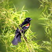 Img_0841-003 - Red-winged Blackbird Poster