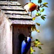 Img_1154 - Eastern Bluebird Poster